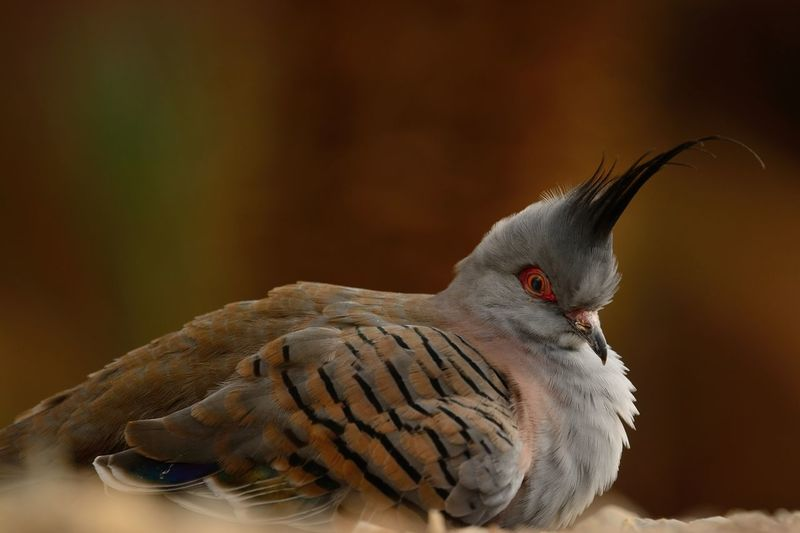 Close-Up Of Crested Pigeon