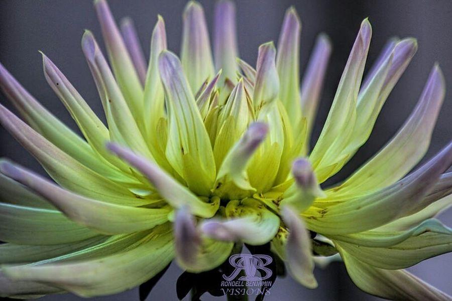 Flower Close-up Fragility Beauty In Nature Plant Beauty Petal Flower Head Nature Flowers, Nature And Beauty Flowers,Plants & Garden Flower Photography Dahlia Dahlia Flowers DahliaGarden
