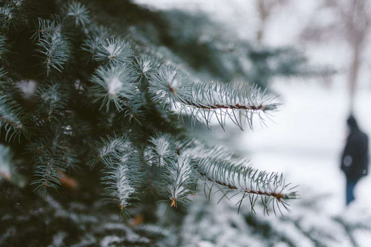 Beauty In Nature Close-up Cold Temperature Day Focus On Foreground Freshness Growth Nature Needle No People Outdoors Plant Snow Spruce Tree Tranquility Tree Winter