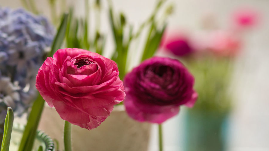 Flowering Plant Flower Plant Beauty In Nature Freshness Close-up Vulnerability  Petal Fragility Focus On Foreground Inflorescence Flower Head Nature Pink Color Growth No People Day Plant Stem Purple Ranunculus Blütenzauber Nature_collection EyeEm Nature Lover Nature Photography EyeEm Gallery