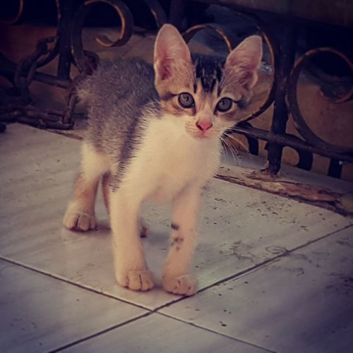 Domestic Animals Pets Feline Domestic Cat Looking At Camera Cats No People Kittens Kitten Adorable Kittens Of Eyeem Chiko is one month old