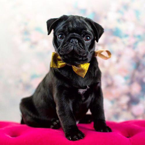 Moss Hector Pug Cute Dog Pugsofinstagram ?