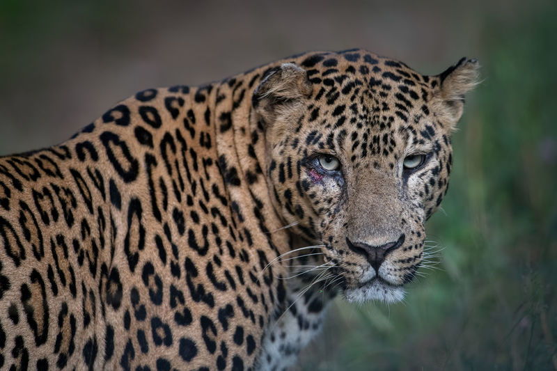 Close-up of leopard on field