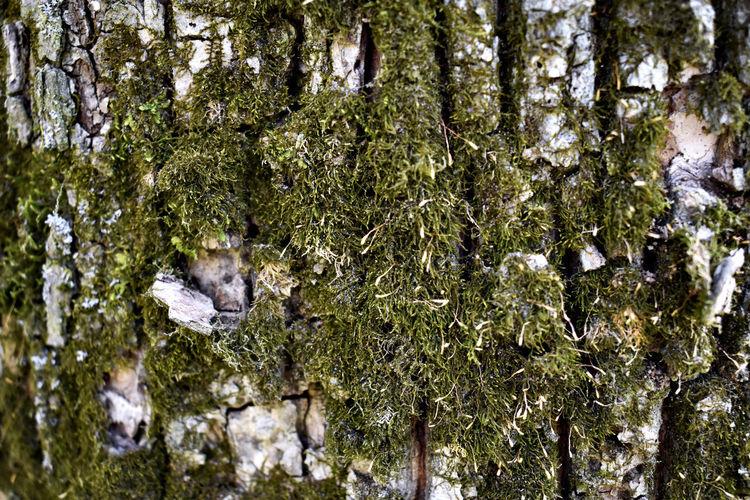 Moss Dead Tree
