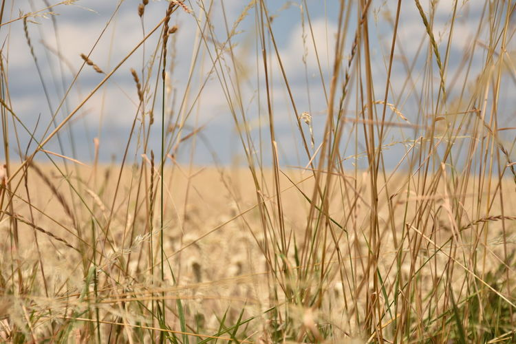 Agriculture Beauty In Nature Close-up Crop  Day Dry Field Focus On Foreground Grass Growth Land Landscape Nature No People Outdoors Plant Rural Scene Selective Focus Sky Tranquility