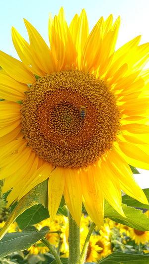 Sunflower🌻 Sunflowers🌻 Sunny Flower Macro Sunflower Plant Nature Petal Fragility Beauty In Nature Flower Head Summer Freshness Yellow Beauty Rural Scene Backgrounds Close-up Springtime Sky