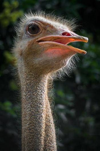 Close-up portrait of a ostrich