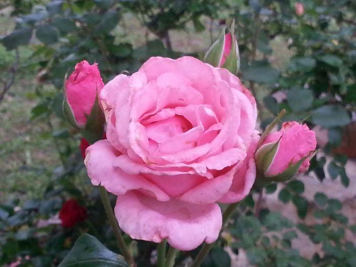 """For """"the dark poet"""" RosePorn )( Nature's Art Bright Follow Me Springntexas In The Garden Flower Porn"""