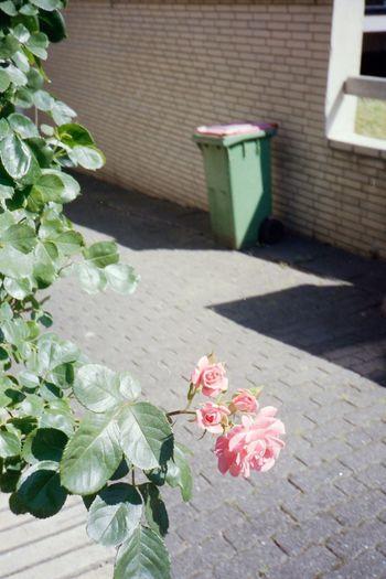 Pink rose flower pot on plant