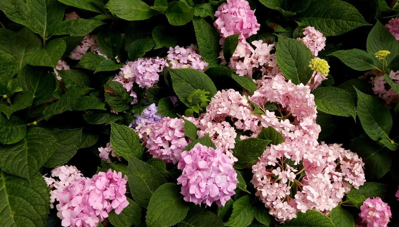 Beauty In Nature Close-up Flower Fragility Freshness Growth Hydrangea Hydrangeas Nature
