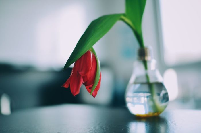 Tulips Beauty In Nature Close-up Day Floral Flower Flower Decoration Flower Head Fragility Freshness Growth Growth Process Indoors  Leaf Nature No People Petal Plant Positivity Red Flower Sad Tulip Tulips Tulips Flowers Tulips🌷 Water