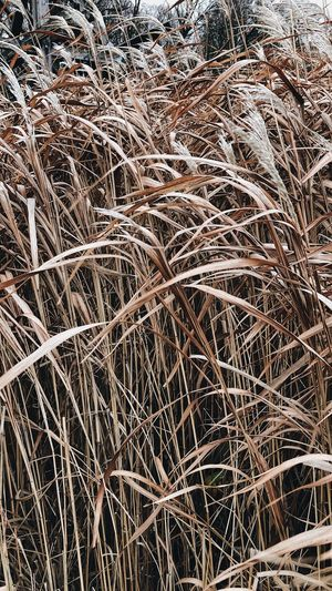 reed Schlosspark Walks Walkinthepark Winterinthecity Winterscapes Park Reeds Reed Full Frame Backgrounds No People Nature Pattern Winter Abstract Outdoors Cold Temperature Frozen Textured  Dry Day Close-up Plant Snow Land Field