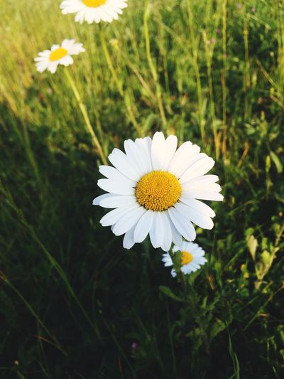 Flower Nature Beauty In Nature Fragility White Color Flower Head Growth Daisy Petal No People Outdoors Field Blooming Close-up Day