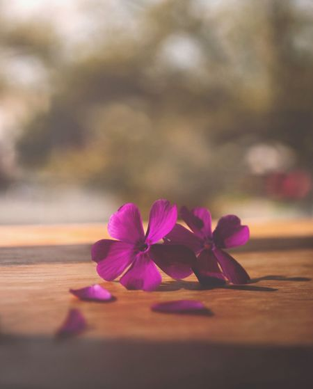 Flowering Plant Flower Plant Freshness Petal Beauty In Nature Close-up Selective Focus Pink Color Vulnerability  Fragility Nature Inflorescence No People Flower Head Purple Table Wood - Material Day