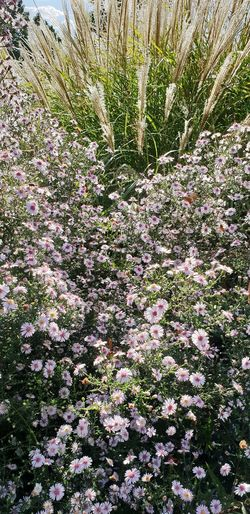 Aster 'Pink Button' Flower Plant
