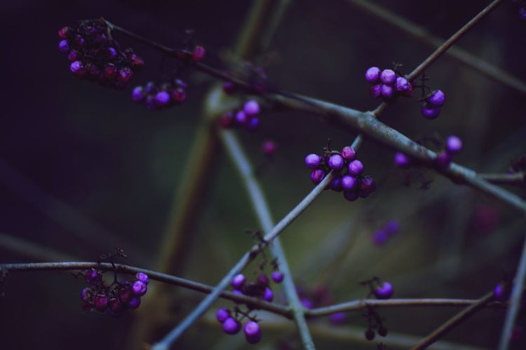 Darkness And Light Purple Purple Berries Shadows & Lights Mystical Nature Wild Berries Nature Photography Deep Dark Woods Spooky Atmosphere Low Light Mystical Atmosphere Mystic Nature Colorsplash Darkness Falls Cold Colors Mystic Beautiful Nature Colors Of Nature Color Purple Branch With Berries Branches Up Close Street Photography
