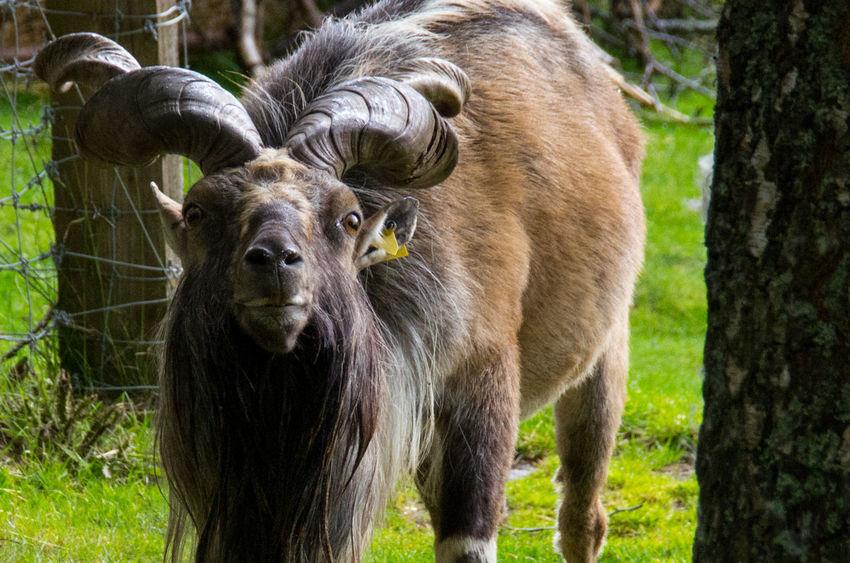 The Highland Wildlife Park on a rainy day. Goat Rain Scotland Turkmenian Markhor Animal Themes Animals Close Up Day Grass Highland Wildlife Park Mammal Nature No People One Animal Outdoors Scottish Highlands Wildlife