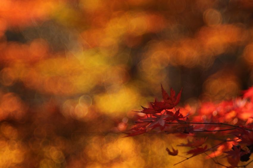 Blaze. EyeEm Nature Lover Autumn Leaves Beauty In Nature Red Maple Leaf Bokehlicious Fukui Japan Canon5Dmk3 Meyer-Optik-Görlitz Trioplan100 Soapbubblebokeh