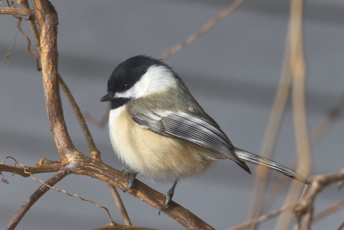 Animal Themes Animal Wildlife Animals In The Wild Beauty In Nature Bird Branch Chickadee Nature No People One Animal Perching