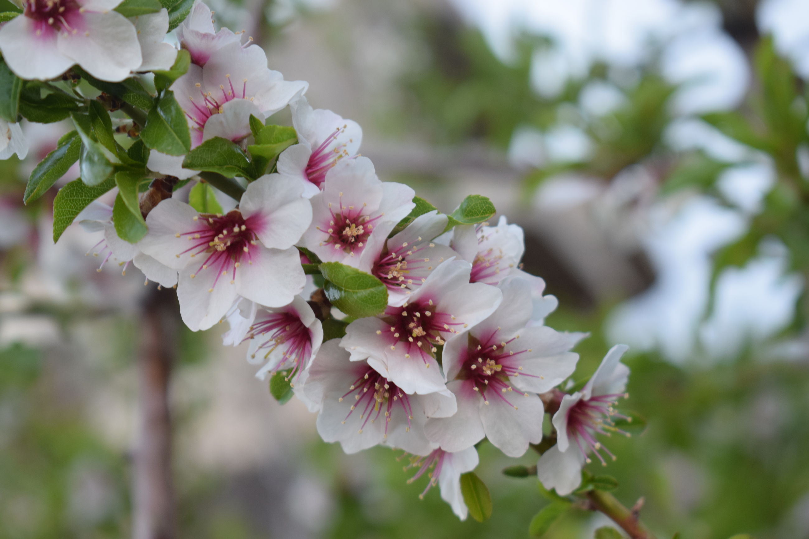 flower, plant, flowering plant, growth, fragility, vulnerability, beauty in nature, freshness, close-up, petal, day, nature, blossom, focus on foreground, tree, inflorescence, white color, no people, flower head, springtime, outdoors, pollen, cherry blossom, cherry tree, spring