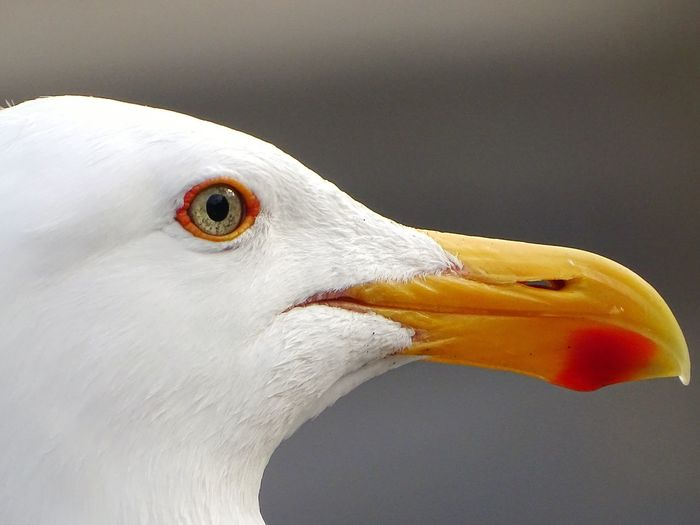 Close-up side view of seagull