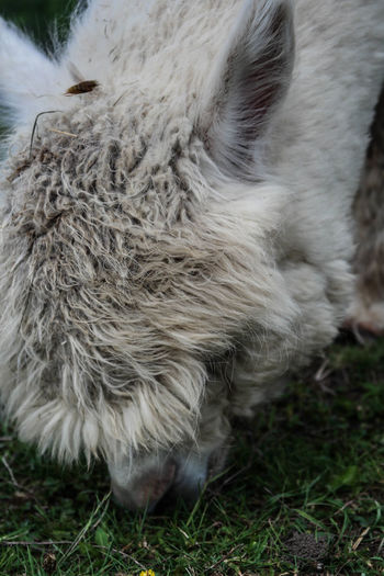 Alpaca Animal