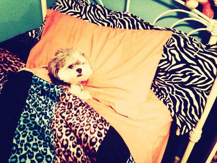 My friends dog tucked in First Eyeem Photo