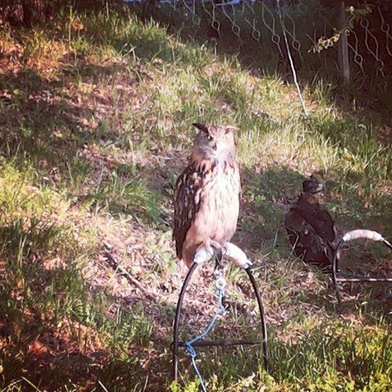 Gufo Chesguardo ! Occhi Piume Owl Natura