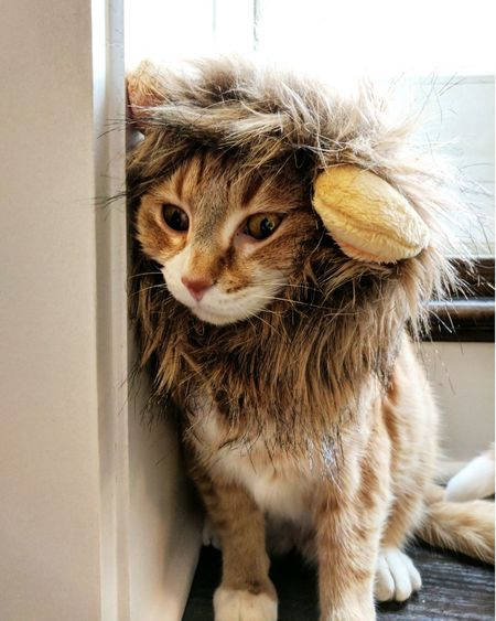 Lion at heart Cats Pets Indoors  Whisker Feline Lion Heart Of A Lion