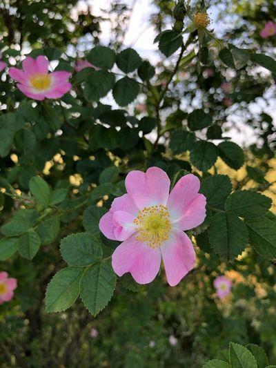 Wild Rose Wild