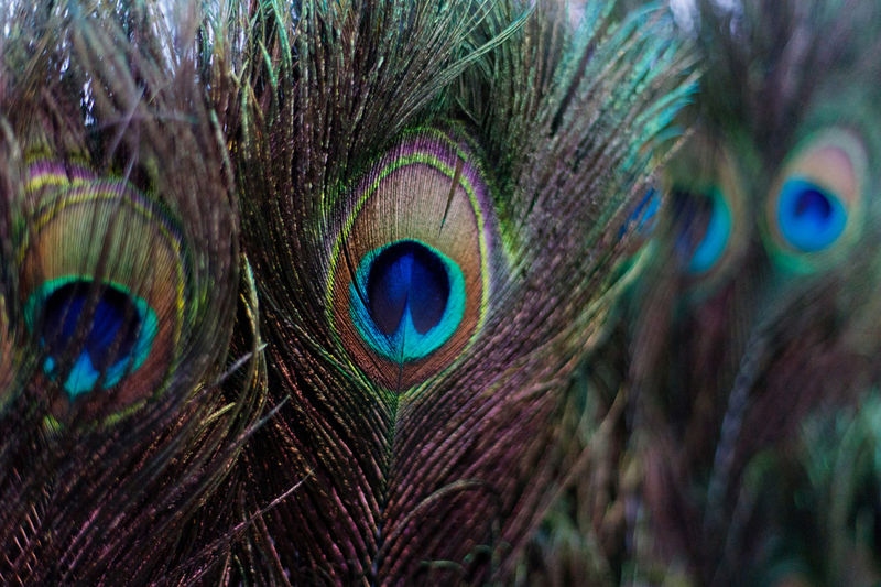 Peacock Feather, decoration during Thaipusam festival Hindu Hinduism Penang Thaipusam Animal Themes Animal Wildlife Beauty In Nature Bird Close-up Colorful Deocration Fanned Out Feather  Festival Multi Colored Nature No People One Animal Peacock Peacock Feather The Still Life Photographer - 2018 EyeEm Awards