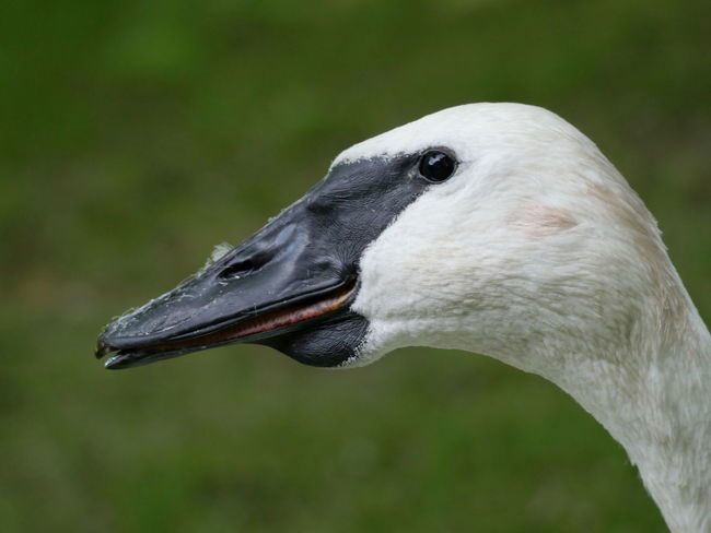 Trompeterschwan Trumpet Swan Trumpeter Swan Swan Animal Body Part Animal Head  Animal Themes Animals Avian Beak Feather  Macro Nature No People Outdoors Side View Close-up Close Up From My Point Of View Taking Photos Focus On Foreground Perspective Wildlife