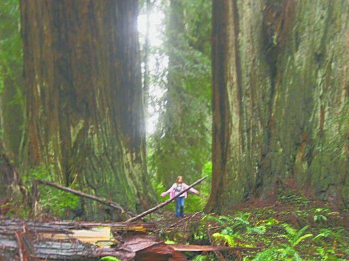 Woodlandwalks Redwoodnationalpark Forrest Photography Giant Tree Giant Redwoods Fresh On Eyeem  Northern California Forrest Photography Rain Forest Tree Trees And Nature Nature Photography Rainforest Towering Trees Talltrees Bigass Photography