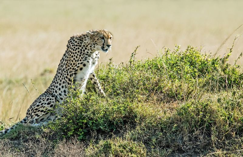 Leopard Cheetah Safari Animals Feline Wilderness Area Spotted Grass Big Cat Undomesticated Cat Lioness White Tiger Camouflage Cat Family Captive Animals Threatened Species Lion - Feline Tiger Savannah Lion Cub Masai Mara National Reserve Endangered Species Safari Carnivora Animals Hunting