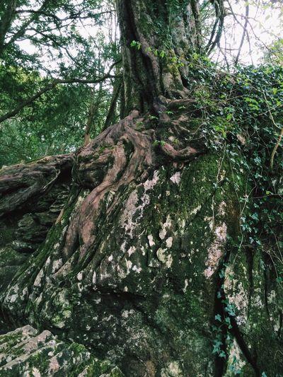 Witch of Blarney Blarney Castle Yew Tree Stone Blarney Ireland Treeportrait