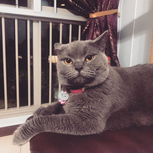 British Shorthair One Animal Pets Domestic Mammal Domestic Animals Vertebrate Domestic Cat Cat Feline Whisker Close-up Looking At Camera No People Indoors  Portrait Window Day