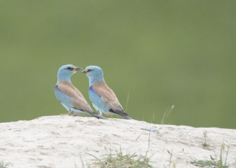Animal Themes Animal Wildlife Animals In The Wild Bird Birds Day European Roller Focus On Foreground Kyrgyzstan Nature No People One Animal Outdoors Perching