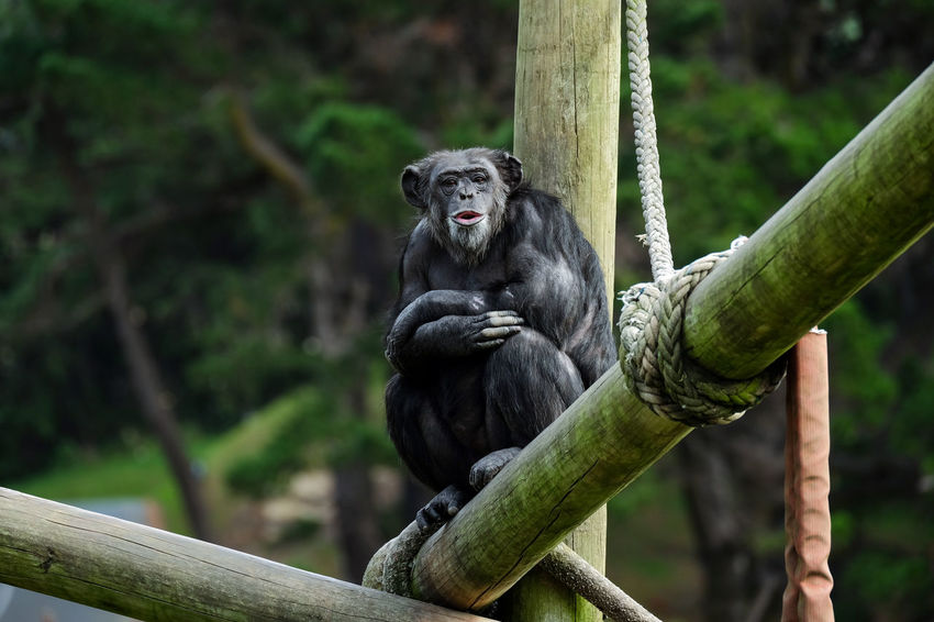 Chimpanzee perching at Wellington Zoo, New Zealand. Ape Chimpanzee Wellington  Wildlife Photography Zoo Animal Wildlife Animals In The Wild Apes Chimpanzees Day Focus On Foreground Primate Primates Vertebrate Wellington Zoo Wildlife Zoo Animals  Zoology