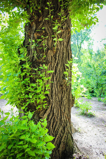 Bark Beauty In Nature Branch Creeper Plant Day Forest Green Color Growth Ivy Nature No People Outdoors Plant Tranquility Tree Tree Trunk