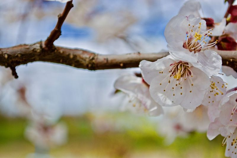 EyeEm Selects Nature Fragility Tree No People Day Close-up Outdoors Beauty In Nature Social Issues Flower Water Branch Sky Apricot Tree Apricot Blossom Apricot Flower