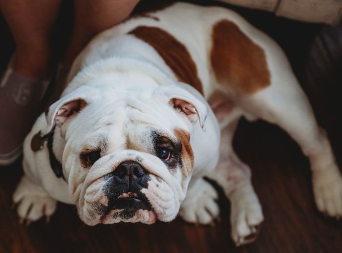 Canine Dog One Animal Animal Mammal Pets Animal Themes Domestic Animals Domestic English Bulldog Focus On Foreground Portrait Close-up Indoors  No People Looking At Camera Relaxation Day High Angle View