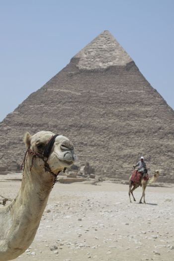 View of a camel in front of an egyptian pyramid