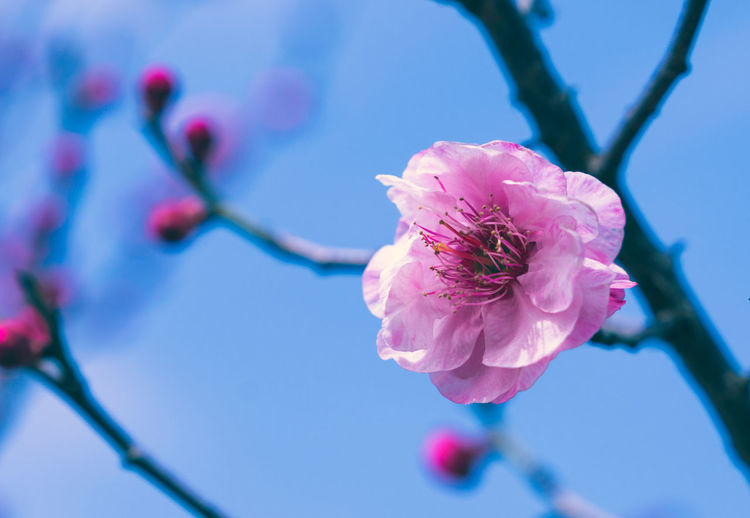 Spring plum blossoms Plum Blossom Spring Flower Growth Close-up Nature Beauty In Nature Plant Flowering Plant Vulnerability  Fragility Freshness Focus On Foreground Flower Head Petal Pink Color Branch No People Tree Blossom Pollen Springtime Outdoors