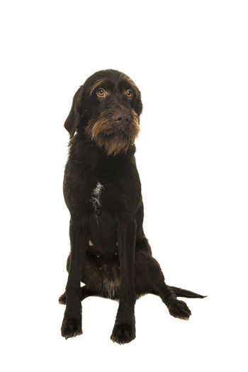 Portrait of a Cesky Fousek dog looking away on a sand colored background in a vertical image Bohemian Wire-haired Pointing Griffon Rough-coated Bohemian Pointer Cesky Fousek One Animal Animal Themes Animal Studio Shot Pets Dog White Background Domestic Animals Full Length Indoors  Purebred Dog Sitting