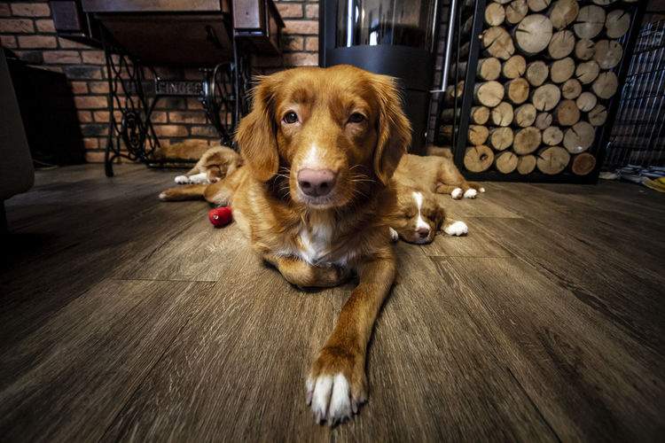 Portrait of a dog on the floor