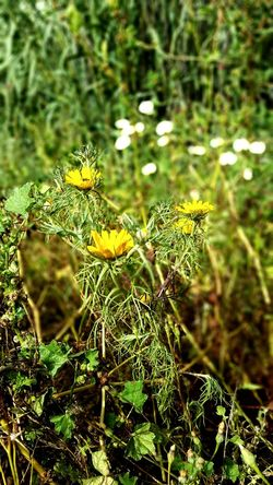 Yellow Flower Yellow Color Yellow Green Color Green Grass Jardin Flower Nature Beauty In Nature No People Outdoors Morocco 🇲🇦 Ait Melloul Aitmelloul Morocco اغادير مغرب