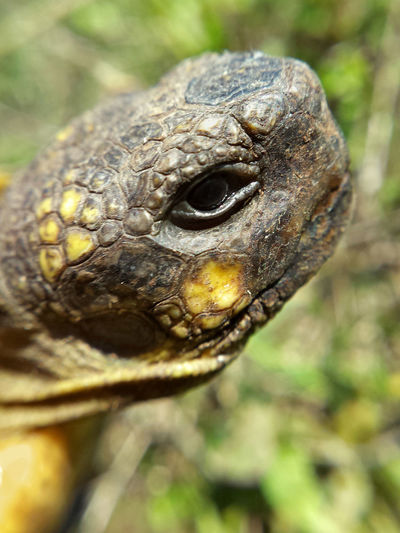 Testudo Hermanni - Serchio River Animal Body Part Animal Head  Animalia Animals In The Wild Close-up Nature Outdoors Reptile Reptile Collection Reptile Photography Reptilia Testudines Testudinidae Testudo Tortoise Turtle Turtle Collection Wildlife Zoology Pet Portraits