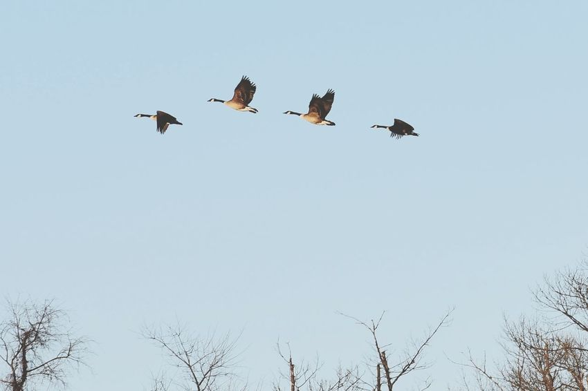 Geese in flight. Geese Goose Wawa Animal Themes Outdoors Low Angle View Nature Beauty In Nature First Eyeem Photo