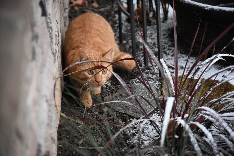 One Animal Animal Themes Domestic Animals Mammal Pets Looking At Camera Domestic Cat No People Outdoors Feline Portrait Day Nature Curiosity Snow ❄ Cat Cats Of EyeEm Cold Temperature Outdoor Photography Grass Ginger Cat Wintertime Snow Day Cats Seasons
