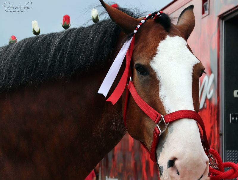 Anheuser-Busch Clydesdales Animal Head  Animal Themes Close-up Day Domestic Animals Horse Livestock Mammal No People One Animal Outdoors
